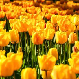 Gek op holland tulpen